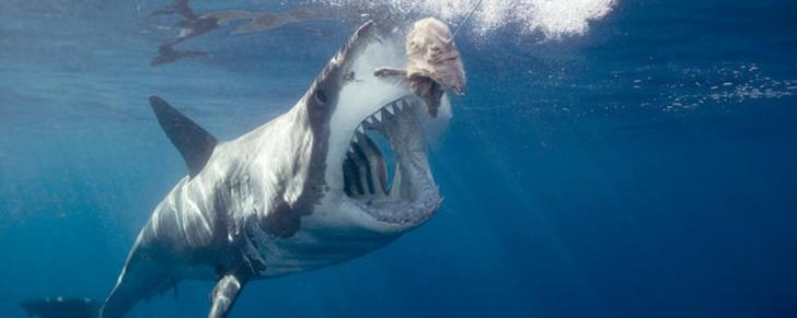 Biggest Reason Why You'll Never See A Great White Shark In ...